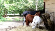 Two little horse and a donkey eating video