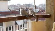 two lovely dove birds sit on balcony railing, look around video