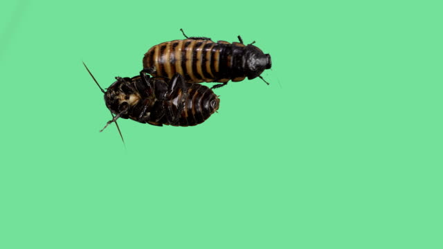 Two Madagascar hissing cockroaches on green screen video