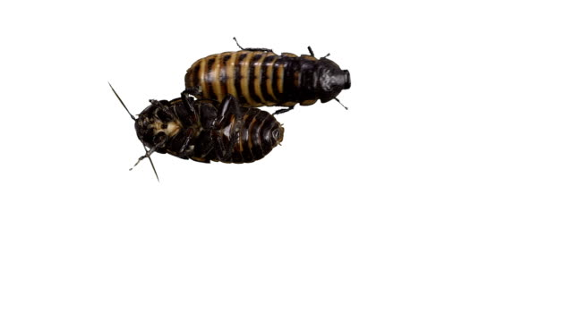 Two Madagascar hissing cockroaches video
