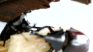 Two male Rhino beetle eating time on Sugarcane. video
