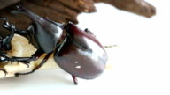 Two male Rhino beetle. video