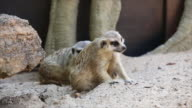 Two Meerkat on sand video