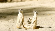 SLOW MOTION: Two meerkats guard and other meerkat sits on a sand video