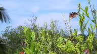 two Monarch Butterflies around the plants video