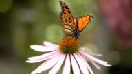Two Monarch Butterflies on Cone Flower video