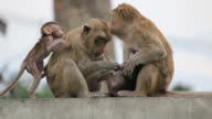Two monkey-mothers with their childs. video