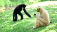 Two monkeys sitting in the grass video