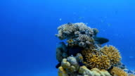 Two moray eels in a coral on the Maldives video