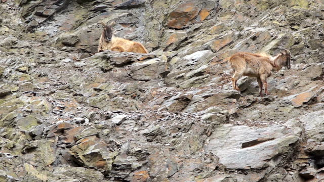 Two mountain goats resting on a rocky slope video