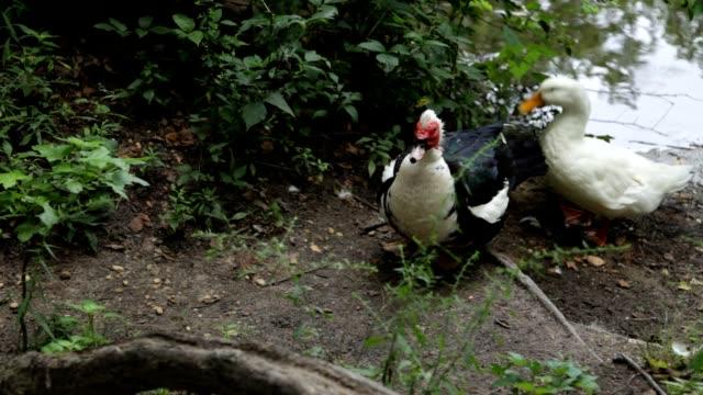 Two Muscovy Ducks Waddling Along video