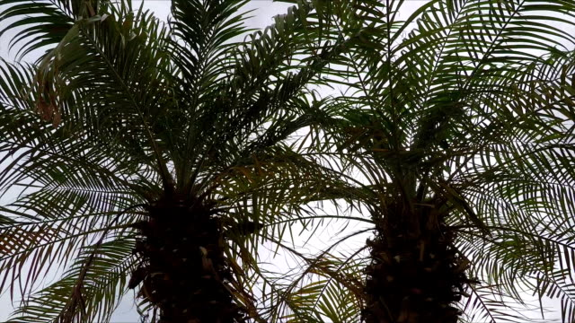 Two Palm Trees, Close Up View video