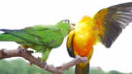 Two parrots playing and teasing each other,Slow Motion video