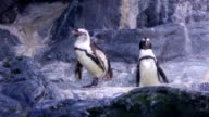 Two Penguins on the rock video