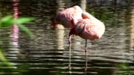 Two Pink Flamingos video