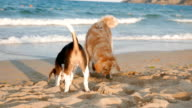 Two playful dogs on the beach video