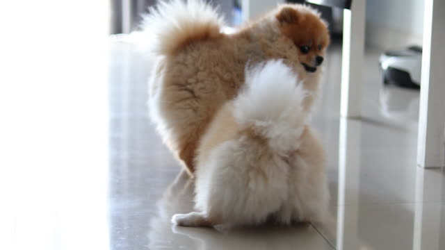 Two pomeranian dog playful in home video