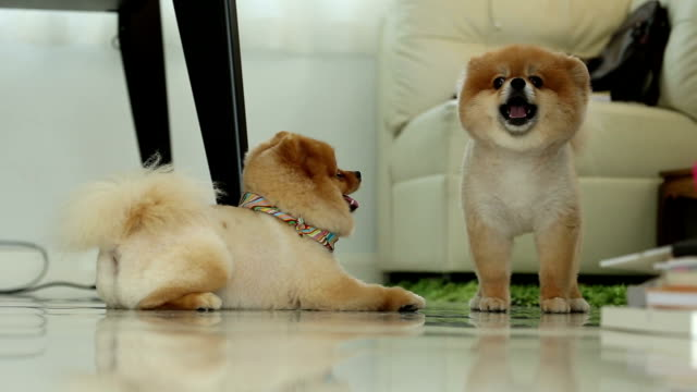 two pomeranian dog smiling video