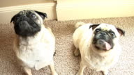 Two pug dogs video