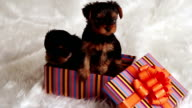 two puppies Yorkshire terrier in a gift box video