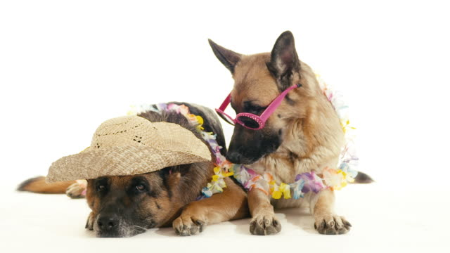 Two purebred german shepherd dogs on white background, pets video