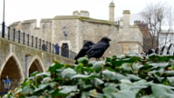 Two raven on the park of the tower video