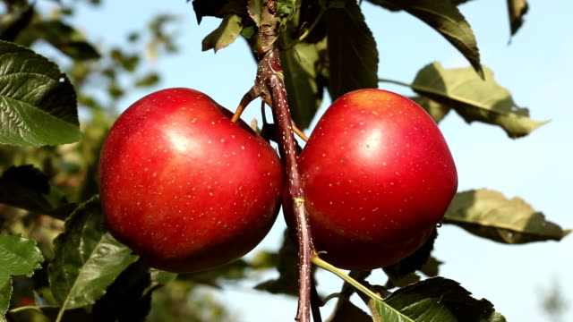 Two red apples - close up video