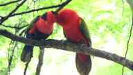 Two Red Parrots, Australia, Perching video