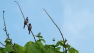 two red-whiskered bulbul are relaxing video