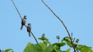 two red-whiskered bulbul are stay video