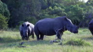 Two rhinos in the bush 1 video
