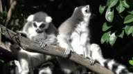 Two Ring-tailed lemur sit on a tree branch. video