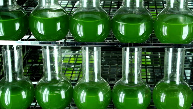 Two rows of bottles filled with green algae panning video