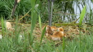 Two Sand HIll Crane Babies Stumbling in Nest While Parents Supervise video