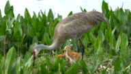 Two Sandhill Crane Chicks Stand in Nest While Mother Rebuilds video