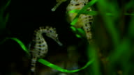 Two seahorses floating underwater - close up video