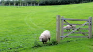 Two Sheep in Field Behind Gate  One has Bad Leg video