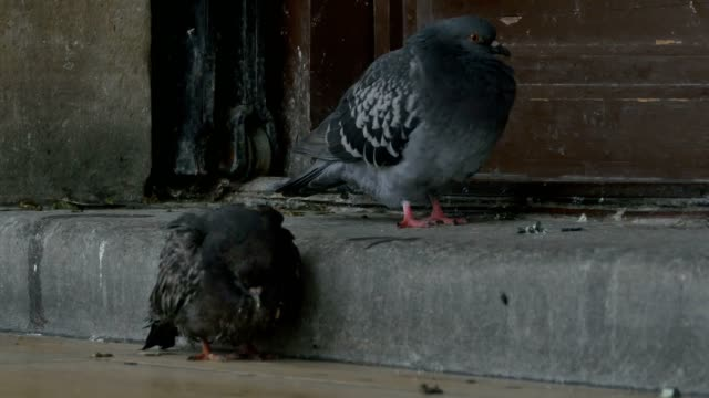 Two Sick Pigeons video