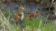 Two Sleepy Sandhill Crane Chicks video