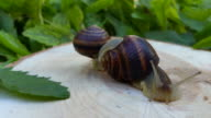 Two snails on a stump in the green leaf video