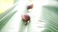 Two snails that were walking on banana leaves. video