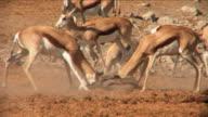 Two Springboks - Zwei Springböcke kämpfen miteinander video