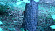 two squirrels pursuing each other on the tree in the park video