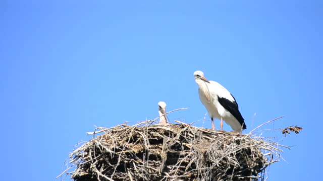 Two storks in nest on background of blue sky video