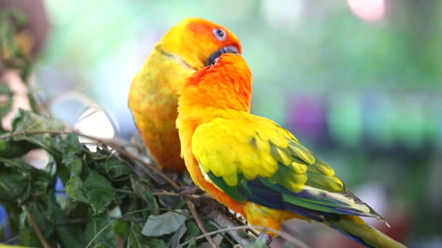 two Sun Conure Parrot video
