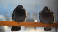 Two thick fluffy gray pigeons sitting on the yellow tube video
