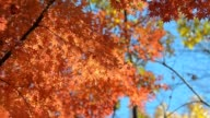 two tone leaves in autumn video