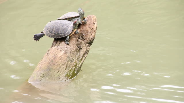 Two turtle perched on a tree stump. video