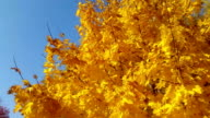 Two videos of autumn leaves video