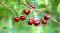 Two videos of cherry tree in the garden-real slow motion video